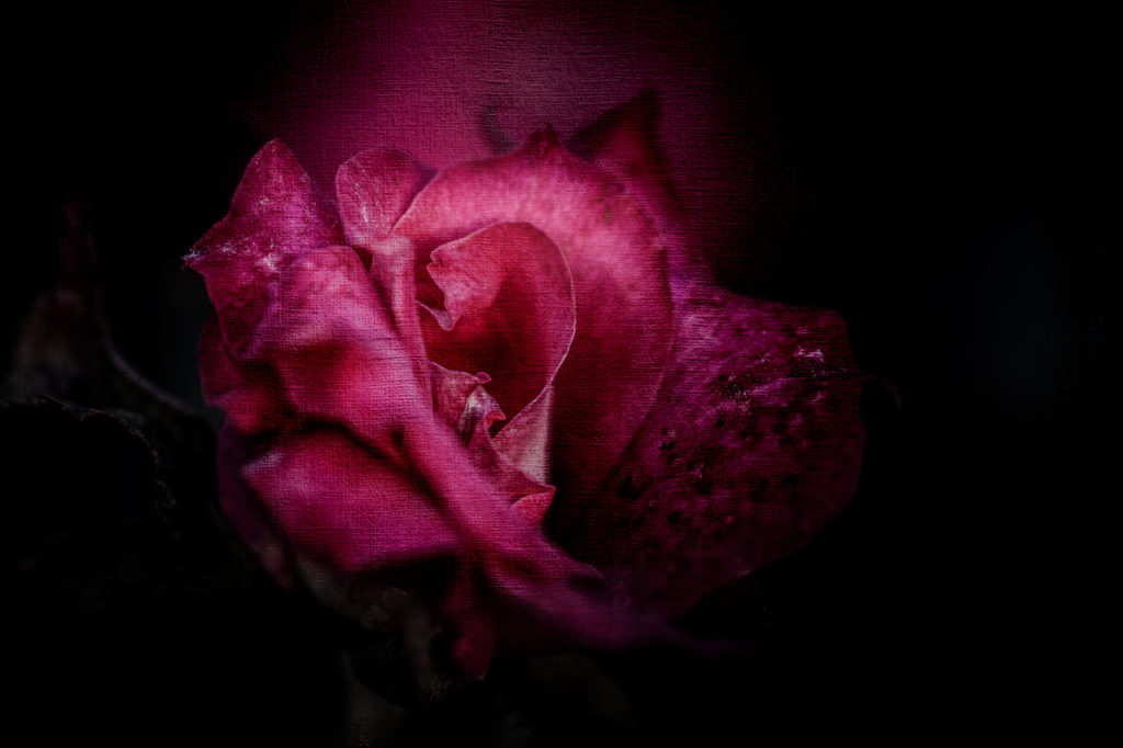 Rose Veneration - Allin Sorenson Photography