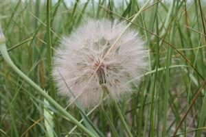 Sea Grass Gone to Seed | © Patricia Crisafulli